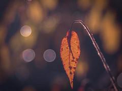 The last Fight (ursulamller900) Tags: pentacon2829 leaf blatt autumn autumncolors herbst mygarden bokeh essigbaum rhustyphina orange