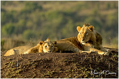 The Golden Lions! (Wild Pixels Safaris) Tags: thegoldenlions lion lions lionpride mf4pride simba subadultmalelion lionking kinglion kingofthejungle animal mammal wildlife africanwildlife wildafrica wildanimal wildcats wildlifephotography carnivore predator hunter safari gamedrive outdoors outofafrica nature naturephotography bigpussycat bigfive nnp nairobinationalpark nairobi kenya macswildpixels wildpixelsafaris munibachaudry sunrise goldenhour goldenlight coth alittlebeauty fantasticnature coth5 ngc npc naturethroughthelens