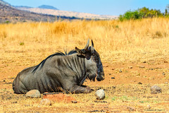 Blue Wildebeest taking some time out (Johann (Still Me!)) Tags: wildebeest blouwildebeest pilanesberg makemesmile johanndejager ef100400mmf4556lisusm canoneos7dmarkii