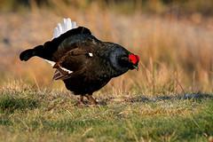 9P1A1239 Black Grouse, Tetrao tetrix, Wales. (Adrian Dancy) Tags: nature wildlife wildbird gamebird grouse black blackgrouse moorland adriandancy wales lek lekking welshmoorland