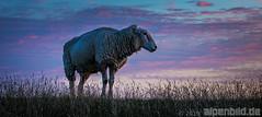Schaf zur blauen Stunde (alpenbild.de) Tags: d800 d800e nikond800e nikon alm alpenbildde cloud clouds daemmerung dämmerung fullframe fx gras gräser himmel landscape landschaft meadow morgen morgens morning natur nature nordsee northsea schaf sheep sky sommer summer twilight vollformat weed wiese wolke wolken 云 全画幅数码单反相机 北海 大自然 天空 尼康 景观 綿羊 羊属 草甸 雾 黄昏