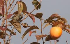 Les joies de l'automne et du plaqueminier du Japon (6franc6) Tags: kakifruitautomneoiseaunourriture occitanie languedoc gard 30 petitecamargue novembre 2019 6franc6 vélo kalkoff vae