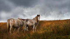 Wild and free (Ade Ward Phototherapy.) Tags: wales phototherapy autumn brecon wildhorses horses horse wildanimals