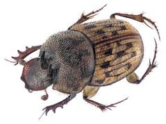 Onthophagus variegatus (Fabricius, 1798) Male (urjsa) Tags: coleoptera kaefer beetle insect scarabaeidae onthophagus variegatus onthophagusvariegatus dubai taxonomy:binomial=onthophagusvariegatus taxonomy:order=coleoptera taxonomy:family=scarabaeidae taxonomy:genus=onthophagus taxonomy:species=variegatus geo:country=dubai coleopteraus käfer insekt