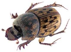 Onthophagus variegatus (Fabricius, 1798) Female (urjsa) Tags: coleoptera kaefer beetle insect scarabaeidae onthophagus variegatus onthophagusvariegatus dubai taxonomy:binomial=onthophagusvariegatus taxonomy:order=coleoptera taxonomy:family=scarabaeidae taxonomy:genus=onthophagus taxonomy:species=variegatus geo:country=dubai coleopteraus käfer insekt