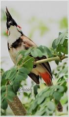 """The best way out is always through"" (Ramalakshmi Rajan) Tags: nikon nikond5000 nikkor70300mm inmygarden birds bird quotes redwhiskeredbulbul bulbul"