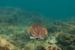 Cuttlefish. Underwater photo. Phuket, Thailand
