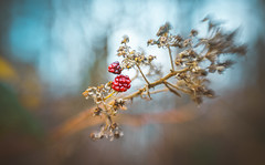 Berries (Dhina A) Tags: sony a7rii ilce7rm2 a7r2 a7r lensbaby composer pro sweet 50 optic 50mm lensbabycomposerpro f25 bokeh art lens 2elements 1group manual focus emount creative photography blur manualfocus winter autumn berries seasonal