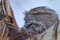 Sleepy (Geoff Main) Tags: bird australia act tharwasandwash chick nest tawnyfrogmouth canon7dmarkii canonef300mmf28lisiiusm canonefextender20xiii