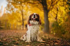 Our golden days// Nuestros días dorados (Mireia B. L.) Tags: golden dorado autumn fall cavalierkingcharlesspaniel cavalierkingcharles dog portrait helios58mmf2 bokeh vintagelens