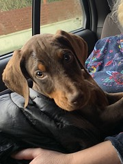 New Arrival - Brown Doberman Pinscher Kaiser - First Day With Us (firehouse.ie) Tags: tan brown red dogs dog pinschers pinscher dobermanns dobermann dobermans doberman dobies dobie dobeys dobey dobes dobe kaiser puppies pups pup puppy