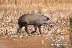 South American Tapir (Jeff Higgott (Sequella.co.uk)) Tags: jeffhiggott jeffhiggottphotography speedway brasil brazil wildlife nature tropical animal