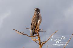 White-tailed Hawk (Jeff Higgott (Sequella.co.uk)) Tags: jeffhiggott jeffhiggottphotography speedway brasil brazil wildlife nature tropical animal