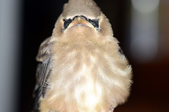 Waxwing Chick (Astral Will) Tags: bird waxwing chick macro