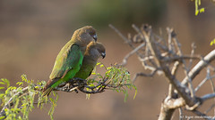 Brown-headed Parrot pair (leendert3) Tags: leonmolenaar southafrica krugernationalpark wildlife wilderness wildanimal nature naturereserve naturalhabitat birds brownheadedparrot naturethroughthelens coth5