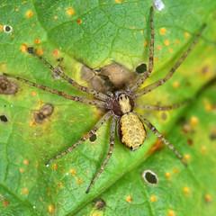 Philodromus sp 2 (AndyorDij) Tags: philodromussp andrewdejardin england empingham rutland uk unitedkingdom spider arachnids araneae empinghamspiders