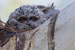 Wide-eyed (Geoff Main) Tags: australia act tharwasandwash bird chick nest tawnyfrogmouth canon7dmarkii canonef300mmf28lisiiusm canonefextender20xiii