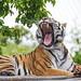 Siberian tigress widely yawning