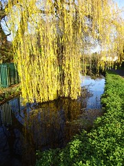 Weeping Willow, Monmouthshire-Brecon Canal, Pontnewydd Park, Cwmbran 28 November 2019 (Cold War Warrior) Tags: weeping willow canal pontnewydd cwmbran autumn reflection