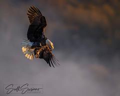 Thankful... (DTT67) Tags: eagle maryland conowingo baldeagle canon1dxmkii 1dxmkii canon fall bif raptor flight bird nature wildlife