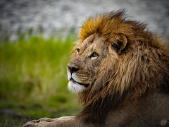 HIS MAJESTY (eliewolfphotography) Tags: lion lions lionking wildlife wildlifephotographer wildlifephotography conservation conservationphotography safari nature naturelovers nikon naturephotography natgeo naturephotographer natgeowild ngorongoro ngorongorcrater