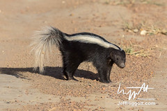 Molina's Hog-nosed Skunk (Jeff Higgott (Sequella.co.uk)) Tags: jeffhiggott jeffhiggottphotography speedway brasil brazil wildlife nature tropical animal
