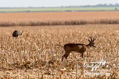 Pampas Deer and Greater Rhea (Jeff Higgott (Sequella.co.uk)) Tags: jeffhiggott jeffhiggottphotography speedway brasil brazil wildlife nature tropical animal