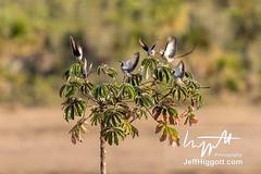 Streamer-tailed Tyrant (Jeff Higgott (Sequella.co.uk)) Tags: jeffhiggott jeffhiggottphotography speedway brasil brazil wildlife nature tropical animal