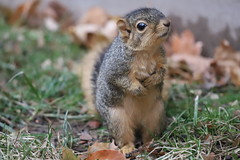 169/366/4186 (November 27, 2019) - Juvenile and Adult Fox Squirrels on the Day Before Thanksgiving in Ann Arbor at the University of Michigan - November 27th, 2019 (cseeman) Tags: gobluesquirrels squirrels foxsquirrels easternfoxsquirrels michiganfoxsquirrels universityofmichiganfoxsquirrels annarbor michigan animal campus universityofmichigan umsquirrels11272019 autumn fall eating peanuts novemberumsquirrel juvenilesquirrels juvenilefoxsquirrels juveniles 2019project365coreys yeartwelveproject365coreys project365 p365cs112019 356project2019 umsquirrel2019
