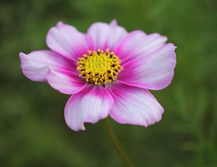 Pink petals (ekaterina alexander) Tags: pink petals cosmos flower asteraceae yellow center autumn flowers england sussex ekaterina alexander nature photography pictures