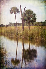 Thanksgiving In Central Florida (paulgarf53) Tags: reflection palm palmtrees florida nature lakewoodruff topaz topazstudio2 nikon d700 150mmf28exdgoshsmapomacro