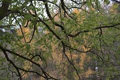 Eine alte Akazie träumt noch ihren Sommertraum - An old acacia still dreams her summer dream (heinrich.hehl) Tags: spätherbst natur flora bäume akazie lärchen blätter herbstfarben autumncolors leaves larches acacia trees nature lateautumn