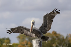 Brown Pelican_MG_6540 (Alfred J. Lockwood Photography) Tags: autumn bird fall louisiana afternoon wildlife birdsinflight brownpelican cajuncountry atchafalayabasin autumncolor alfredjlockwood