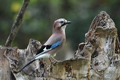 geai des chênes / Garrulus glandarius  19E_6523 (Bernard Fabbro) Tags: geai des chênes garrulus glandarius oiseau bird eurasian jay