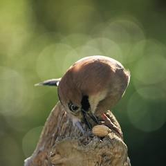 geai des chênes / Garrulus glandarius  19E_6181 (Bernard Fabbro) Tags: geai des chênes garrulus glandarius oiseau bird eurasian jay