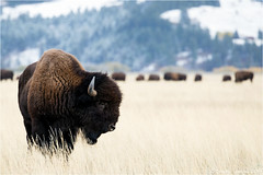 Bison (Sandra Lipproß) Tags: wildlife buffalo bison nature usa grandtetonnationalpark outdoor animal bosbison wyoming fall autumn winter snow grassland prairie