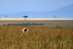 Lion yawn (juanita nicholson) Tags: lion yawning savannah wild wildlife animal outdoors kenya nature teeth