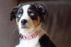 Frida (glaserei) Tags: hunde hund haustier australianshepherd aussie frida