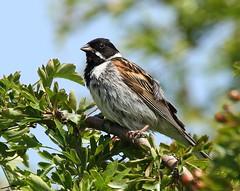 Cock Reed Bunting - beside the River Avon II (glostopcat) Tags: reedbunting bunting bird songbird wildlife summer glos tewkesbury river riveravon june