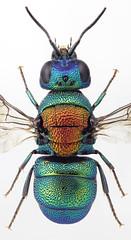 Holopyga mlokosiewitzi (AlxndrBrg) Tags: hymenoptera aculeata apocrita chrysididae chrysidinae elampini stacking zerenestacker