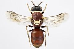 Hylaeus (AlxndrBrg) Tags: hymenoptera aculeata apocrita hylaeus colletidae apoidea stacking zerenestacker