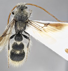 Apterogyna mlokosewitzi (AlxndrBrg) Tags: hymenoptera aculeata apocrita bradynobaenidae apterogyninae stacking zerenestacker