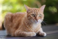 Lorelei, chatte des tropiques (PO3YEJlb) Tags: lareunion reunion 974 cat chat chatte animal pet