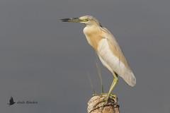 Garcilla cangrejera (Ardeola ralloides) (jsnchezyage) Tags: garcillacangrejera ardeolaralloides ave pájaro bird birding ornithology beak feather birdwatching squaccoheron ngc npc