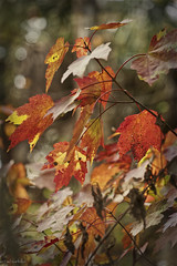 Happy Thanksgiving (paulgarf53) Tags: thanksgiving fall autumn leaves trees color lakewoodruffnwr florida 150mmf28exdgoshsmapomacro topaz