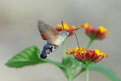 Macroglossum stellatarum (Roy Lowry) Tags: hummingbirdhawkmoth macroglossumstellatarum stjulians stjuliansbay flightshot