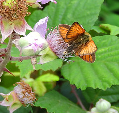 Right end:  Summer 2019 (VolVal) Tags: dorset bournemouth hengistbury head butterfly skipper butt summer bramble flower