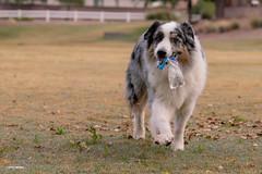 Found another water bottle, Dad (Jasper's Human) Tags: aussie australianshepherd dog waterbottle