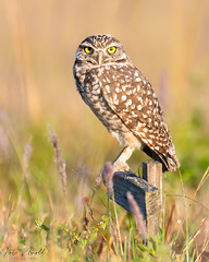 Burrowing Owl (nate.arnold) Tags: bird nature birds florida wildlife birding owl owls naturephotography floridawildlife birdphotography wildlifephotography floridanature natearnoldphotography burrowingowl wings nikon beak feathers birdsofprey wetland birdwalk nikond500