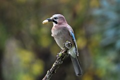 geai des chênes  / Garrulus glandarius 19E_6496 (Bernard Fabbro) Tags: geai des chênes garrulus glandarius oiseau bird eurasian jay